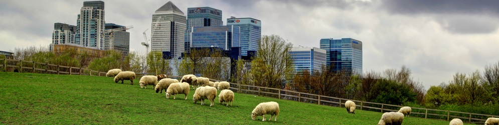 Sheep grazing in proximity to Canary Wharf, London. (C) Shutterstock.com